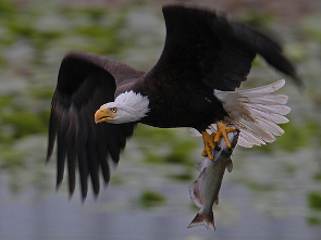 Fernan Lake Eagle