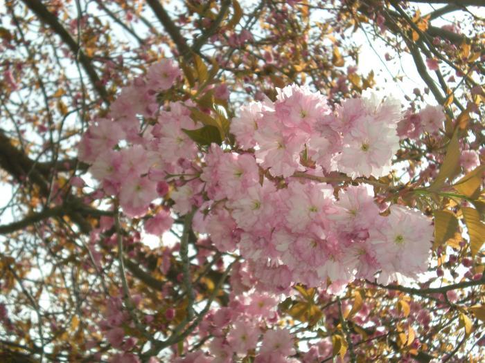 City Of Coeur D Alene Japanese Flowering Cherry